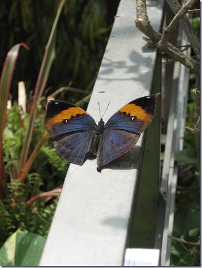 Farfalle 067