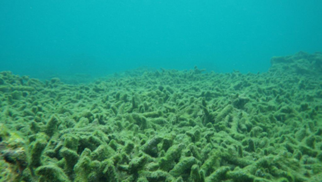 Three weeks after Typhoon Bopha: all of the Acropora coral species are dead and covered in algae and sediment. Photo: ESI via mongabay.com