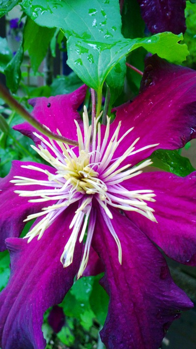 Clematis | Ideas in Bloom