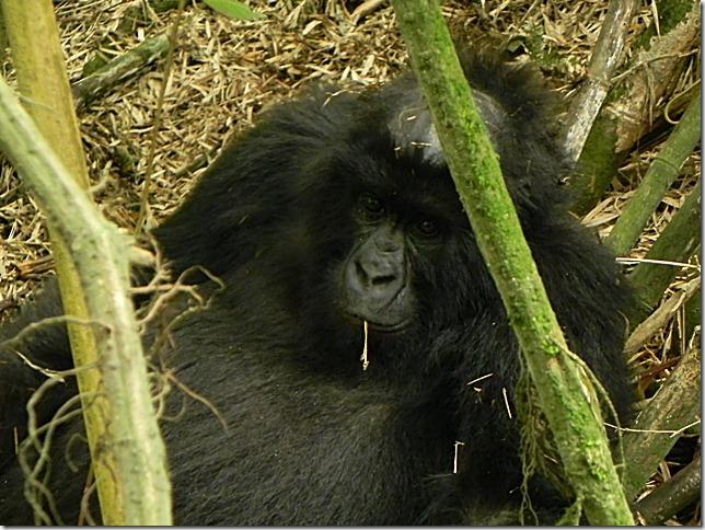 Rwanda_Gorillas (1)