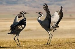 medio-ambiente-grullas-aves en peligro de extinción