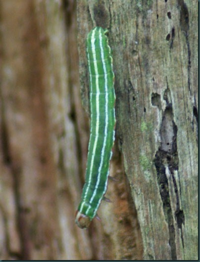 6 pine beauty caterpillar