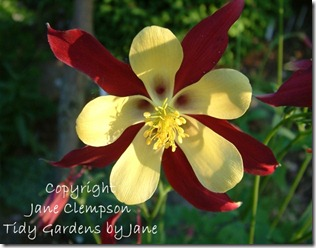 Aquilegia Multi Flowers (4) Photo