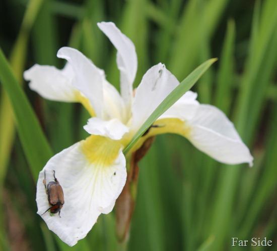 Bug on an Iris