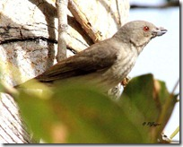 061 Thick billed Flowerpecker