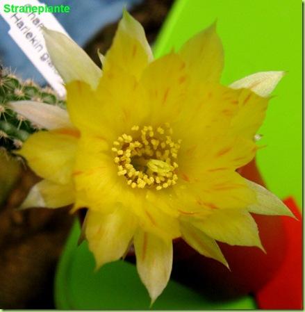 chamaecereus Harlekin fiore giallo rosso
