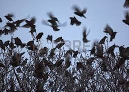 Amazing Pictures of Animals, Photo, Nature, Incredibel, Funny, Zoo, Common Starling, Stumus vulgaris, Bird, Aves, Alex (16)
