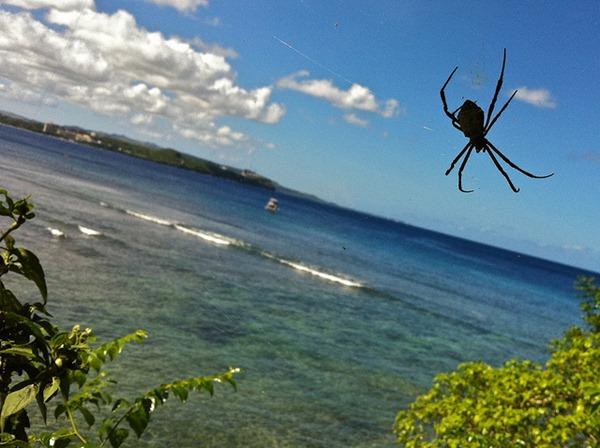 Spiders – Guam