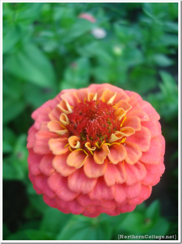 prettiest flower ever - northern cottage garden