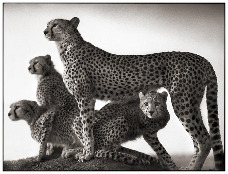 4 Cheetah & Cubs