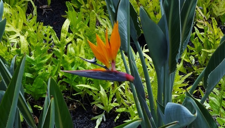 hawaii bird of paradise