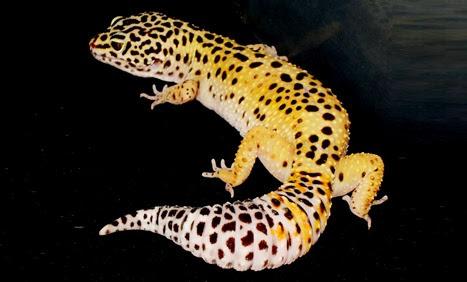 Amazing Pictures of Animals, Photo, Nature, Incredibel, Funny, Zoo, Eublepharis macularius, Leopard gecko, Alex (15)
