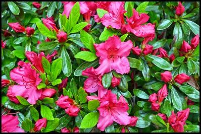 fall azaleas1