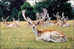 Magnificent stags
