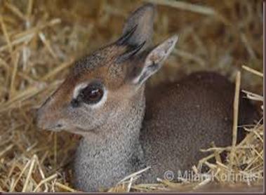 Amazing Pictures of Animals photo Nature, exotic, funny, incredibel Zoo, Dik-dik, antelope. Alex (10)