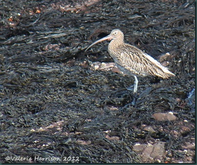 35 curlew