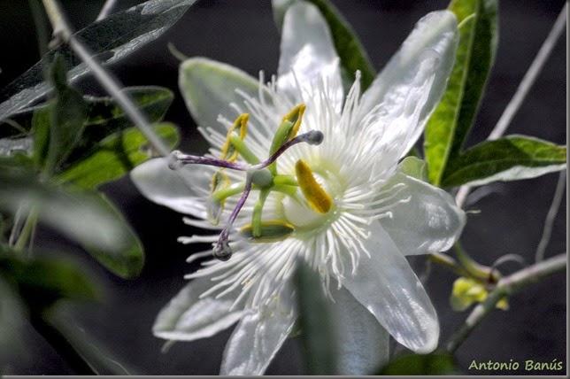 5 Pasiflora _DSC0735x1