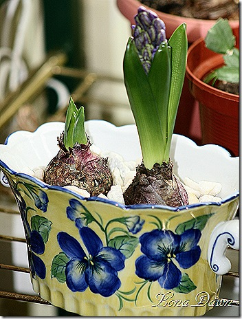 Hyacinth_Bulbs2