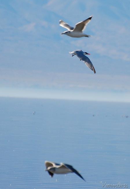 12. gulls n tern-kab
