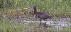 White-faced Ibis Anahuac