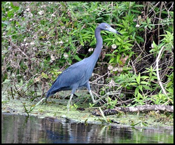 08 - Animals - Little Blue Heron 1