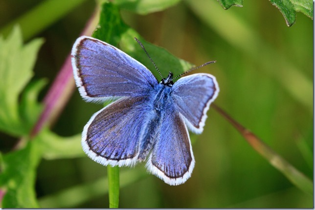 Silver-studded_Blue-2