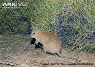 Amazing Pictures of Animals, Photo, Nature, Incredibel, Funny, Zoo, rufous hare-wallaby, (Lagorchestes hirsutus), Mammals, Alex (7)