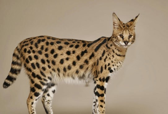 Amazing Pictures of Animals, Photo, Nature, Incredibel, Funny, Zoo,  Savannah cat,  domestic hybrid cat, Alex (22)