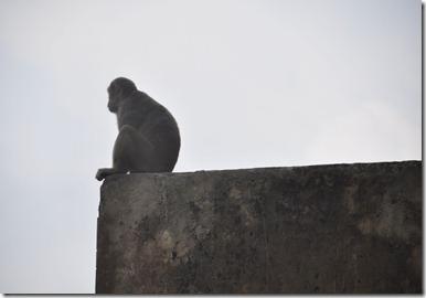 2013-07-14 agra 2 singe pensif 008r