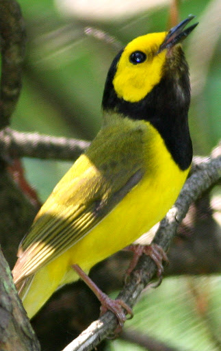 7-11-09, Picazo Farm pond, singing male Hooded Warbler