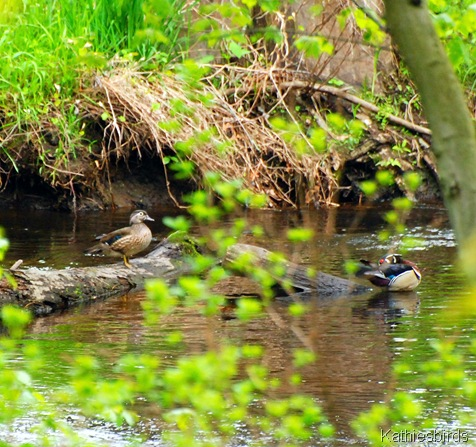 9. wood ducks-kab