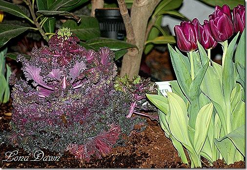 Kale_Tulips