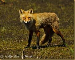 Red Fox _ROT2792 Bombay Hook  May 09, 2011 NIKON D3S