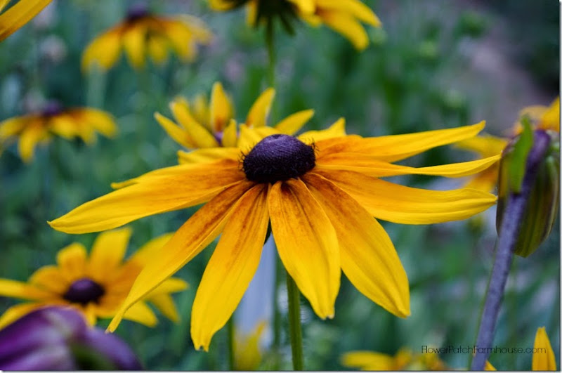 Black Eyed Susan 7 FlowerPatchFarmhouse.com.com (42 of 51)