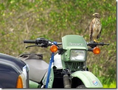 Red-tailed Hawk on a motorcycle