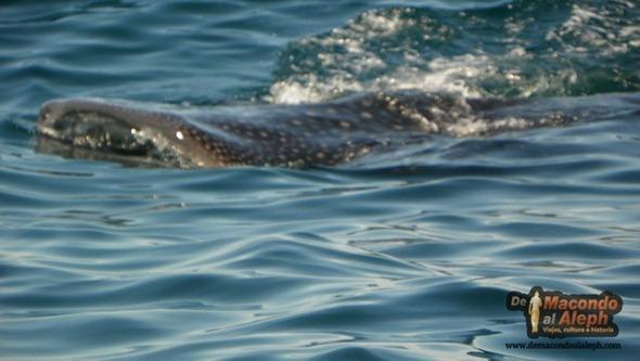 Viajar a Isla Holbox Nadar con el Tiburon Ballena 2