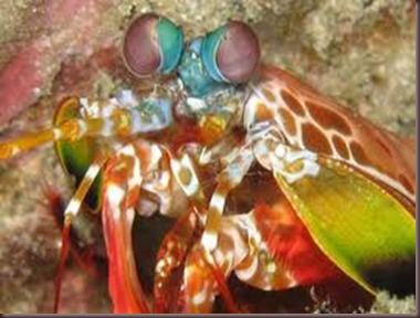 Amazing Pictures of Animals Mantis shrimp stomatopods crustaceans sea locusts (1)