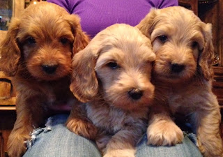 labradoodle puppies by gorgeousdoodles in colorado and utah