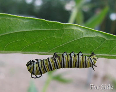 Monarch Larvae Two