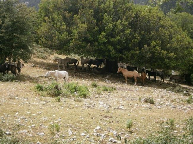Επέστρεψαν στη Ζωοδόχο Πηγή τα άλογα του Αίνου (video)