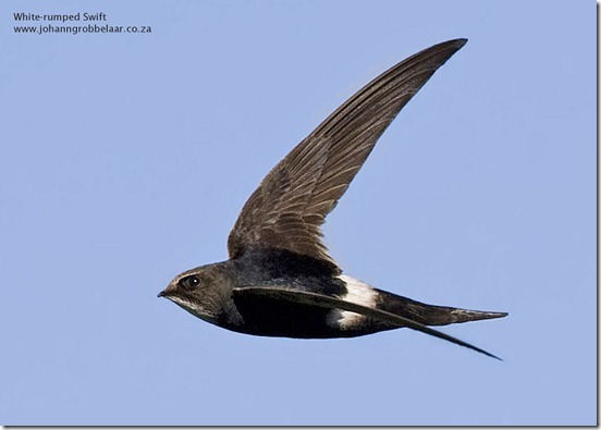 White-rumped_Swift_ODP_A6842