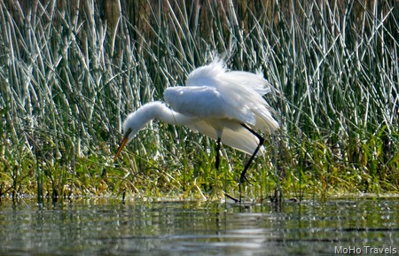 Great Egret shaking it up