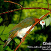 White-bellied Imperial Pigeon-01.jpg