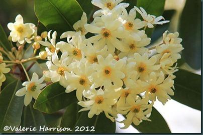12-shrub