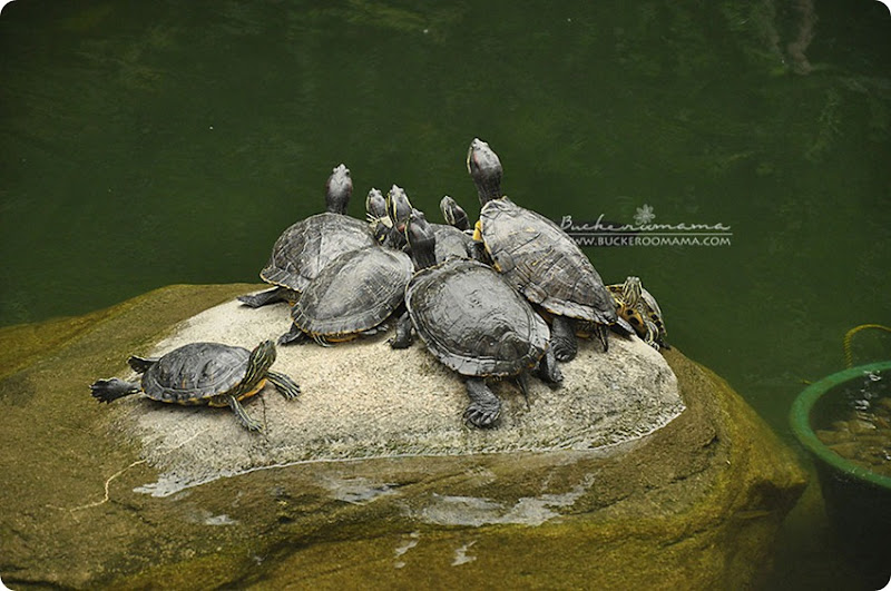 Unedited---turtles-sunning