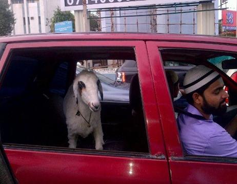 goat in car