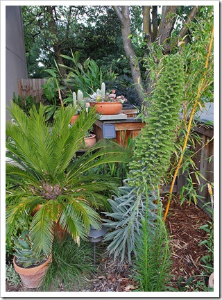 110611_echium_wildpretii_01