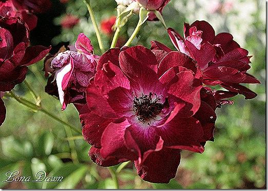 BurgundyIceberg_Roses