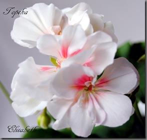 Pelargonium juni-11 101