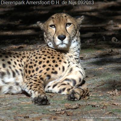 Cheetah Tyke; DP Amersfoort